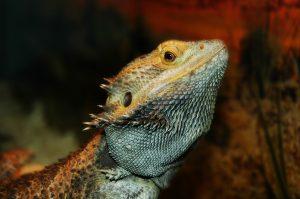 bearded dragon shedding problems