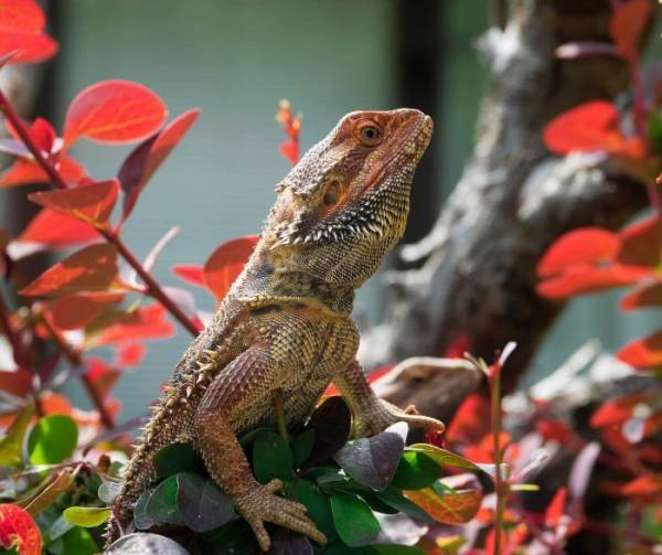 how fast do bearded dragons grow