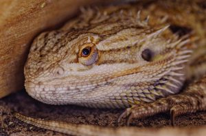 bearded dragon with an open mouth