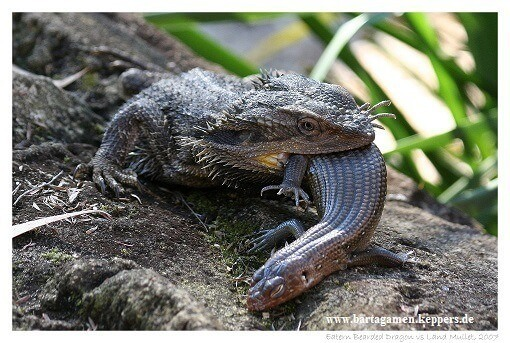 Bearded dragon eating a lizard