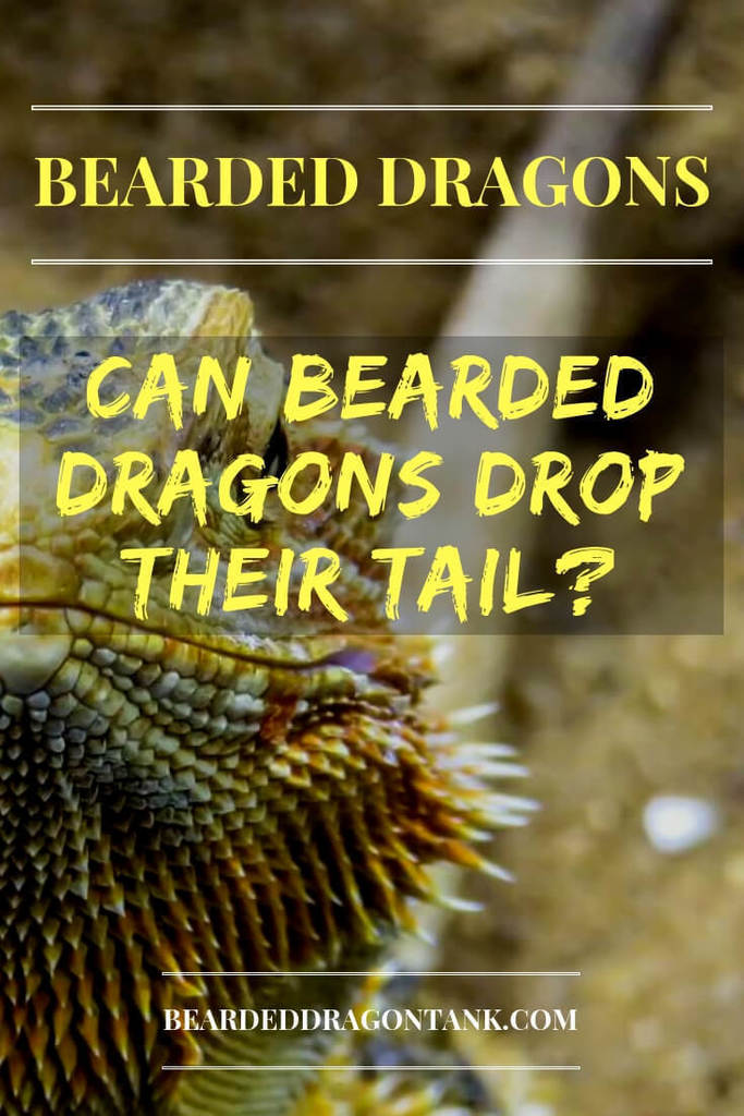 Can Bearded Dragons Drop Their Tail