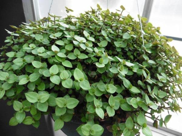 Live Bolivian Jew Plant Fit 1 Quart Pot - Premium Foliage Houseplant - Easy to Grow