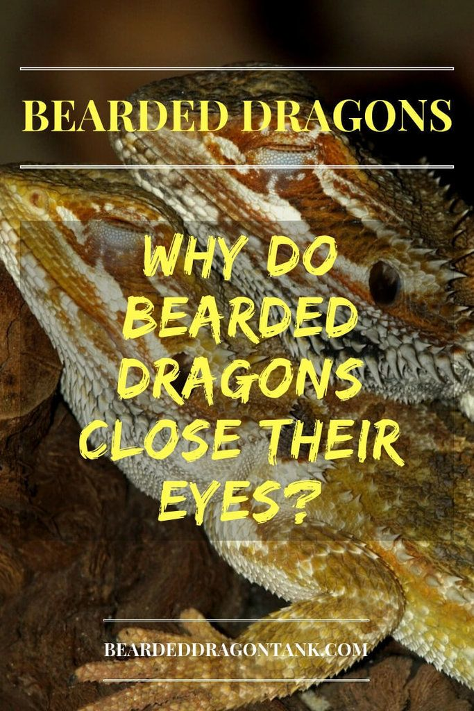 Why Do Bearded Dragons Close Their Eyes