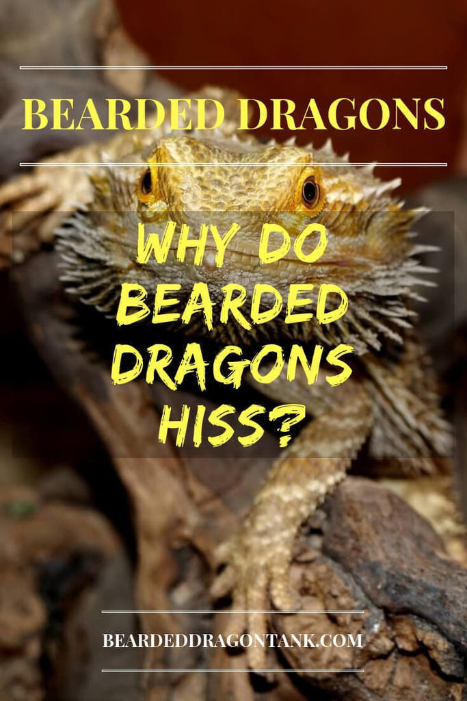 Why Do Bearded Dragons Hiss