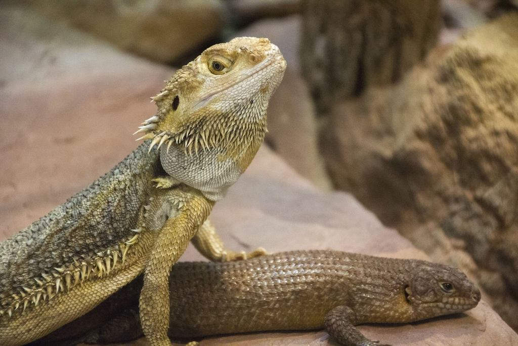 what can bearded dragons live with