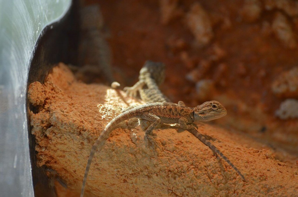 Is PLay Sand Safe For Bearded Dragons