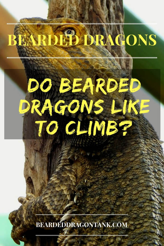 Can Bearded Dragons Climb?